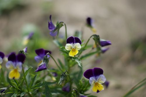 pansy flower garden