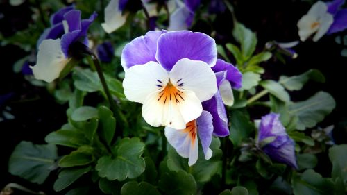 pansy purple purple and white