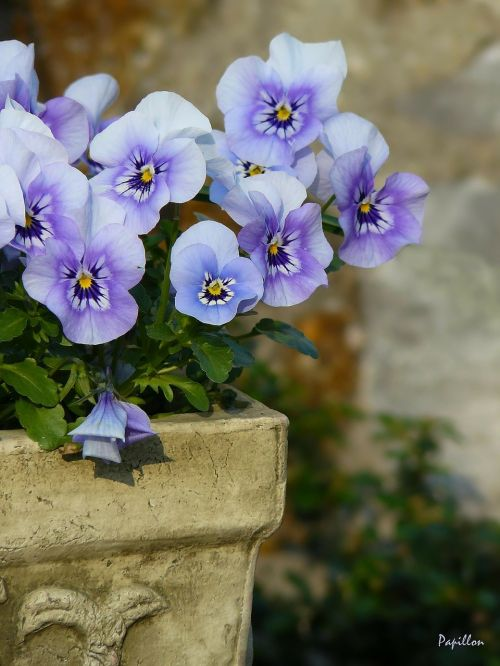 pansy flowers plant