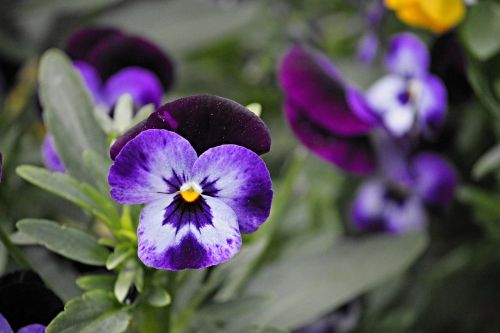 pansy blossom bloom