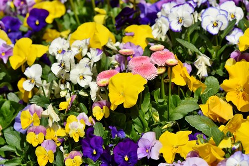 pansy  flowers  violet