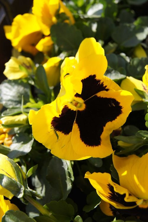 pansy garden pansy yellow pansy
