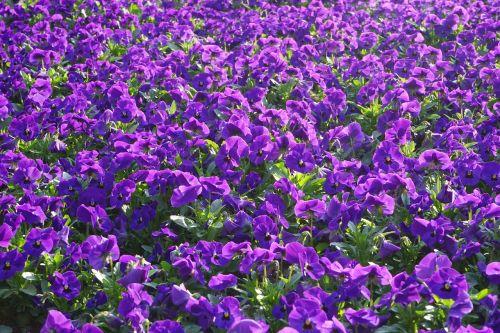 pansy flowers blütenmeer