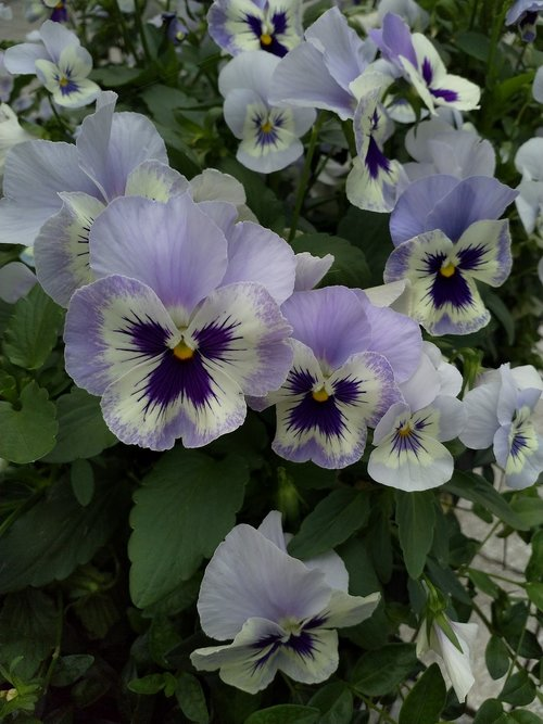 pansy  flowers faces  faces