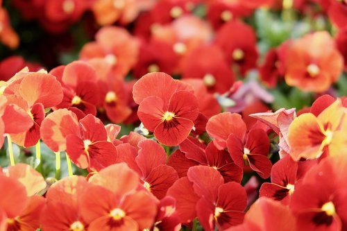 pansy  red  colorful