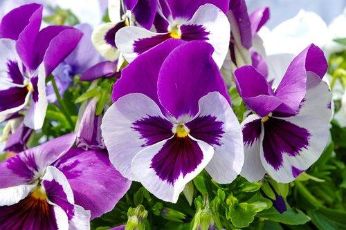 pansy  flowerbed  garden