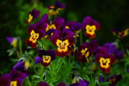 pansy flower blossom