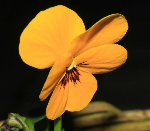 pansy flower blossom