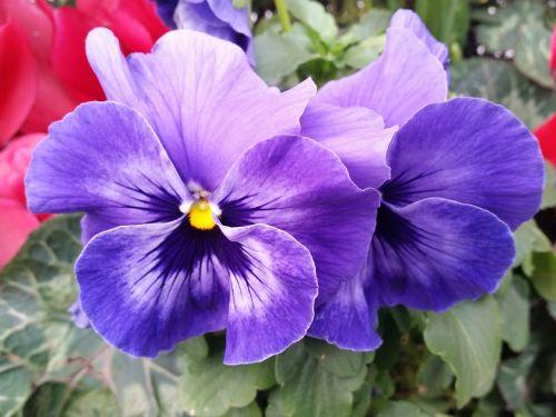 pansy flower purple