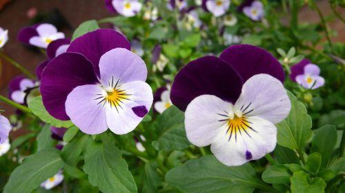Pansy,gėlė,makrofotografija