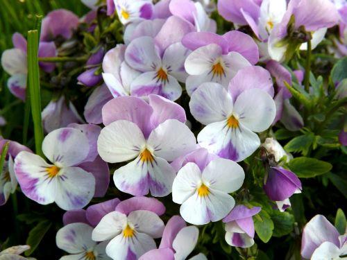 pansy flower mov