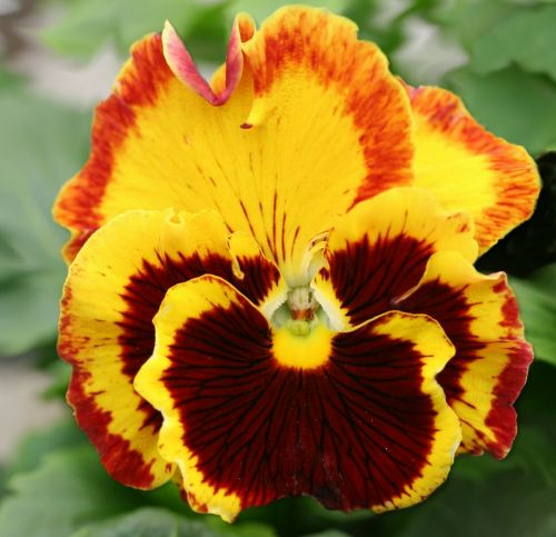 pansy garden pansy macro photography