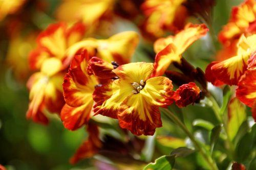 Pansy,gėlė,žiedas,žydėti,augalas,gamta,violetinė,spalvinga,spalva,Uždaryti,bi spalva,makrofotografija