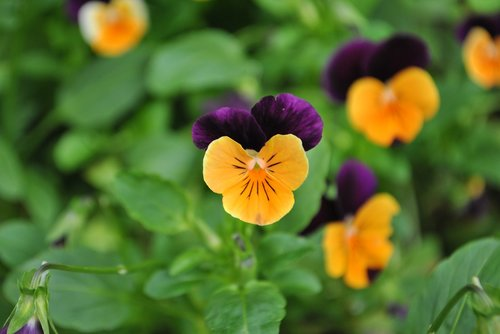 pansy flower  flowers  pansy