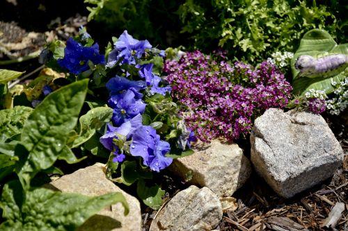 Pansy, namukai, Rokas, augalas, augalai, sodas, gėlė, gėlės, Pansy roko sodas