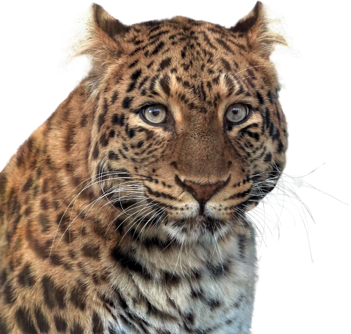 panther head of panther animal
