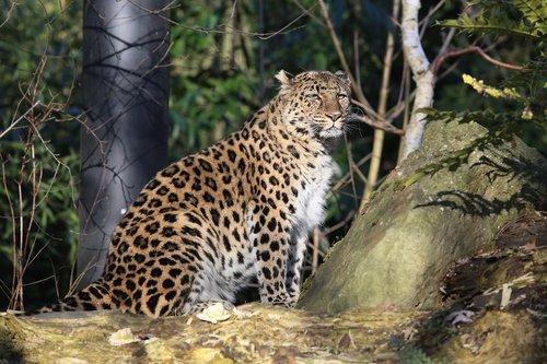 panther  outdoor  nature