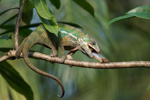 panther chameleon food eat