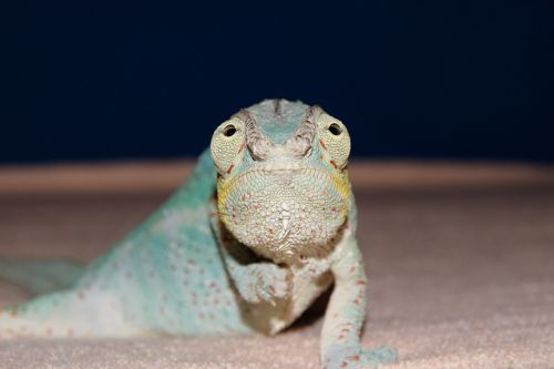 panther chameleon chameleon close