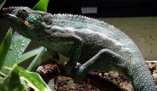 panther chameleon  chameleon  head