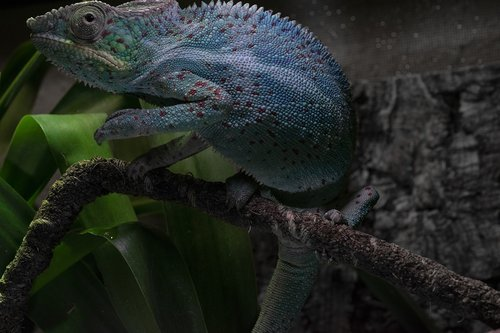 panther chameleon  chameleon  close up