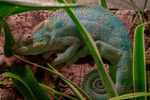 panther chameleon  chameleon  tired