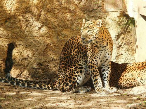 panther of sri lanka panther panther ceylan