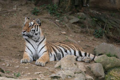 panthera tigris tiger seoul zoo