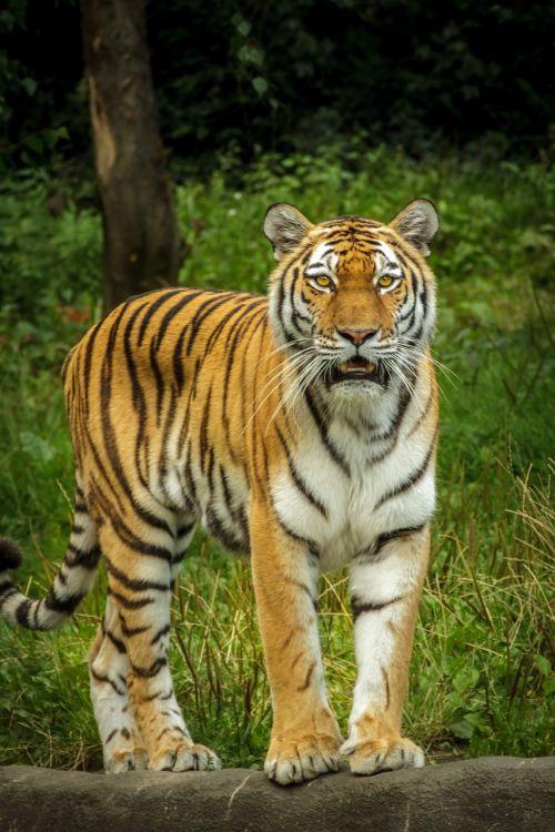 panthera tigris altaica tiger siberian
