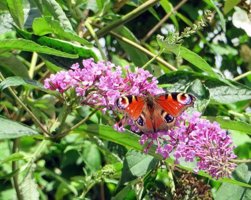 paon-du-jour butterfly papilio io
