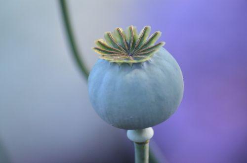 papaver seed box poppy