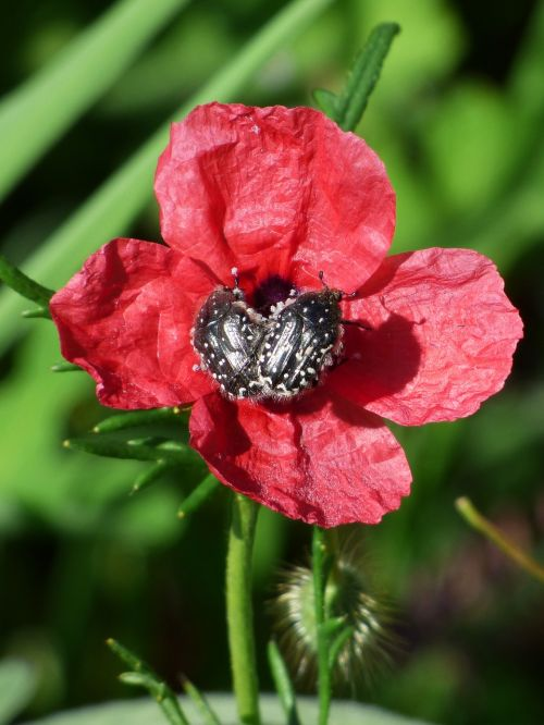 papaver hybridum poppy sad poppy
