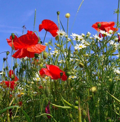 papaver rhoeas poppies camomile