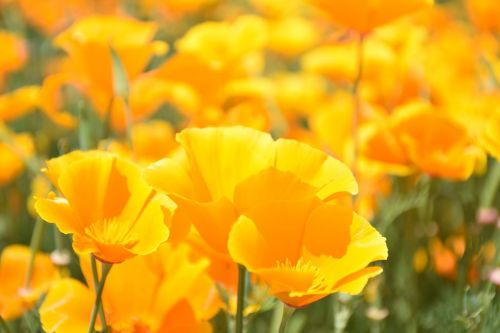 papaveraceae poppy genus poppy corn poppy