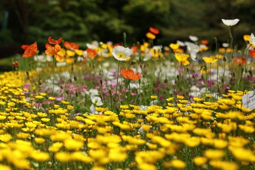 papaverales  flowers  nature