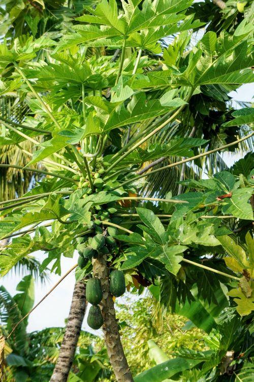 papaya papaya tree tree