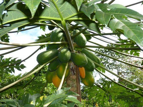 papaya jungle south america