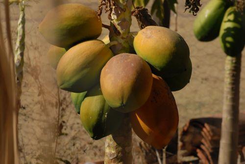 papaya fruit food