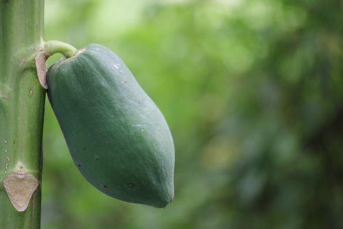 papaya green nature