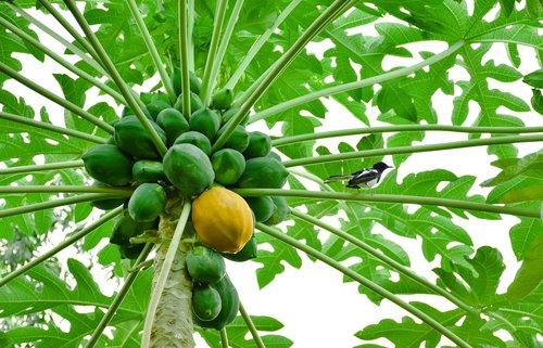 papaya  yellow papaya  green papaya