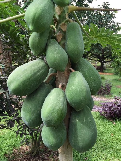 papaya tropical fruit penang papaya