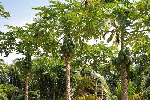 papaya plantation  papaya  fruit