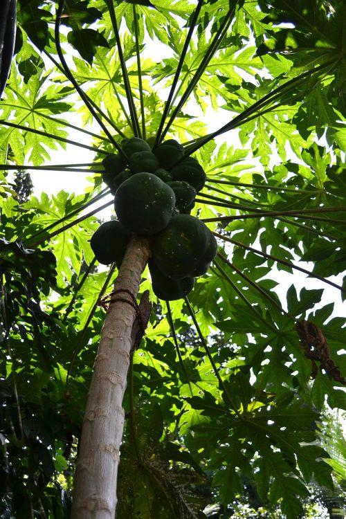 papaya tree papayas fruits