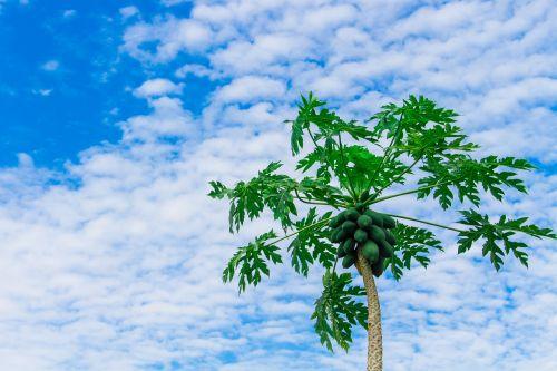 papaya tree papaya fruit