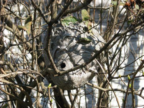 paper wasp vespidae wasp's nest