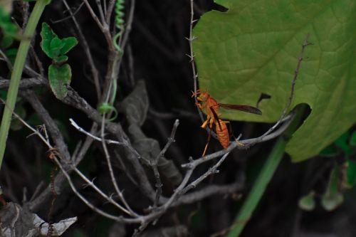 paper wasp ropalidia marginata social insect