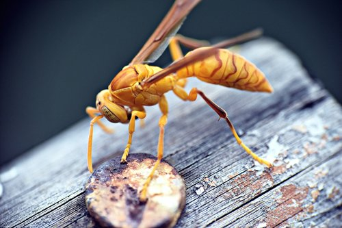 paper wasp  ropalidia marginata  insects