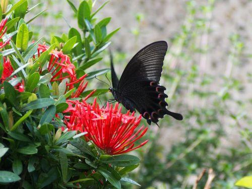 papilio taking nectar
