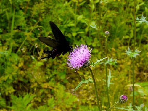 papilio butterfly black