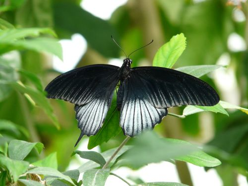 papilio ascalaphus butterfly black